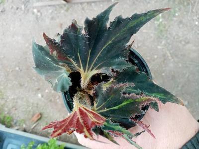 Begonia 'Black Fang' - 2
