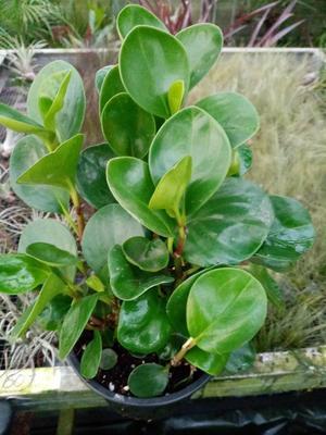 Peperomia obtusifolia (větší) - 2