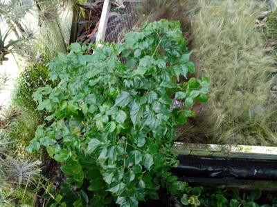 Radermachera sinica (velká) - 2
