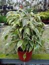 Ficus benjamina (bílozelený) - 2/3