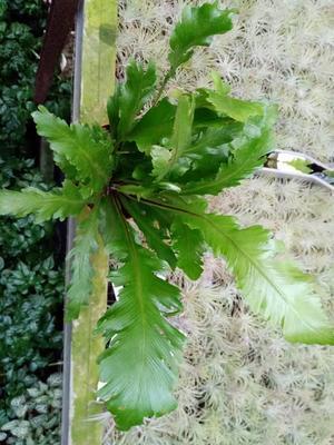 Asplenium nidus 'Fimbriatum' - 2