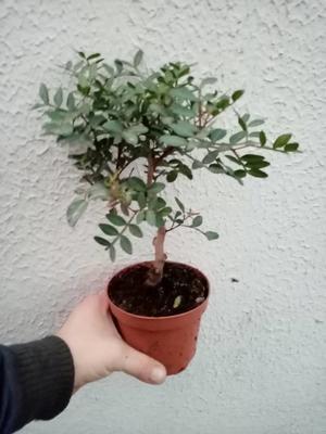 Pistacia lentiscus (Pistáciovník) - 2