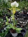 Paphiopedilum maudiae 'Femma' - 2/2