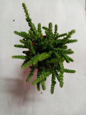 Crassula lycopodioides - 2