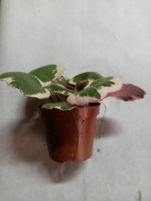 Saxifraga stolonifera 'tricolor' - 2