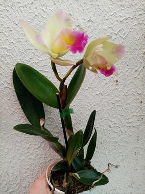 Katleya (Cattleya) - kvetoucí orchidej #9 - 2