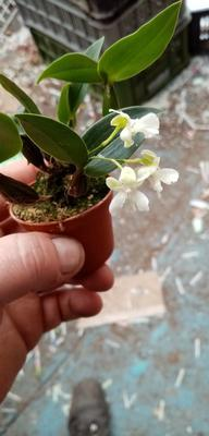 Dendrobium aberrans - 2