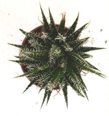 Aloe haworthioides - 2