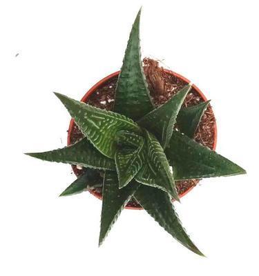 Haworthia limifolia (velká) - 2