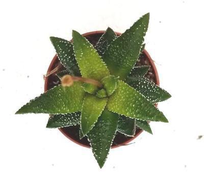 Haworthia attenuata 'Enon' (velká) - 2