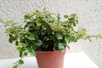 Ficus pumila 'variegata' - 2