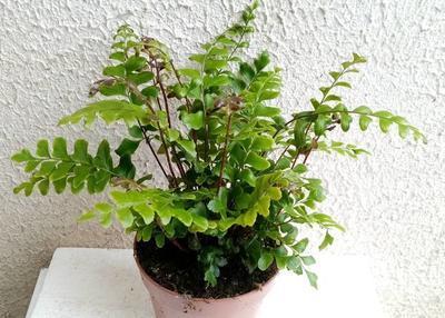 Didymochlaena truncatula (kapradina) - 2