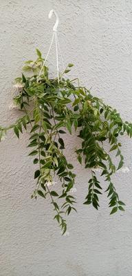 Hoya lanceolata ssp. bella (velká rostlina) - 2