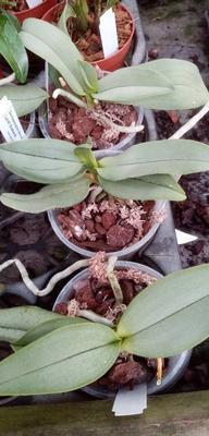 Doritaenopsis Anna Larati 'Soekardi' - 2