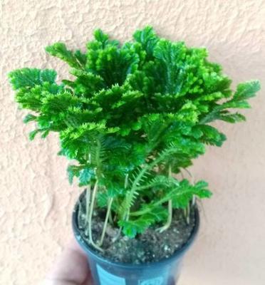 Selaginella martensii 'Jori' - 2