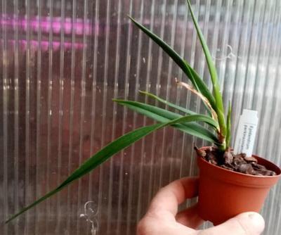 Epidendrum parkinsonianum - 2