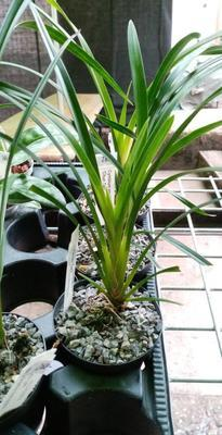 Cymbidium ensifolium 'Chun Tao' - 2
