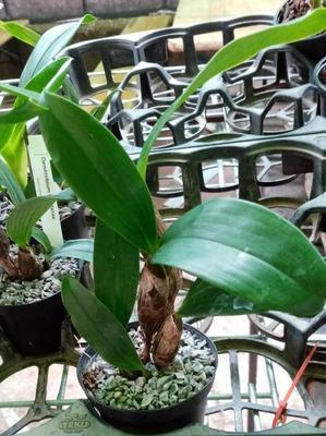 Dendrobium finisterrae - 2