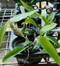 Dendrobium balzerianum - 2/4