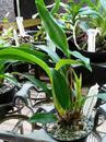 Dendrobium gordonii - 2/4