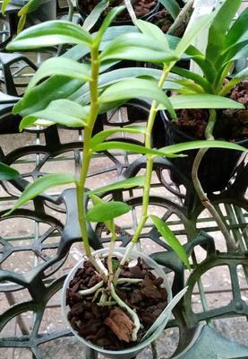Dendrobium insigne - 2