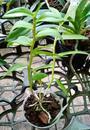 Dendrobium insigne - 2/3