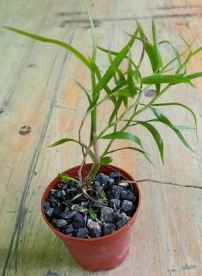 Dendrobium aurantiflammeum - 2