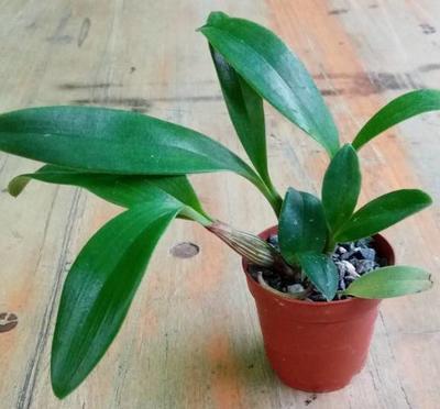 Dendrobium spectabile - 2