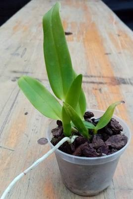 Cattleya labiata - 2