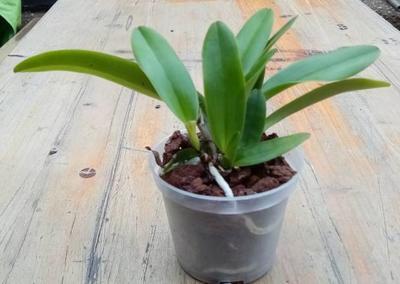 Cattleya trianae v. coerulea - 2