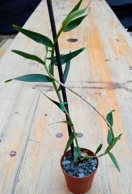 Dendrobium erosum - 2