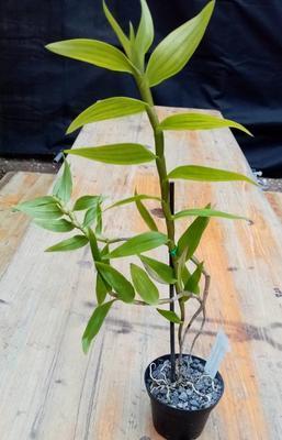 Dendrobium pseudoglomeratum - 2