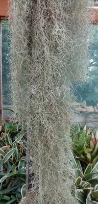 Tillandsia usneoides f. jemná - 2