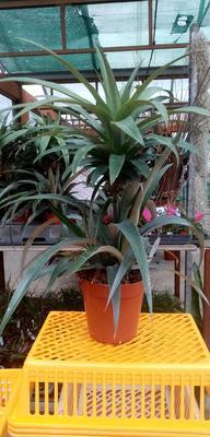 Ananas comosus - 2