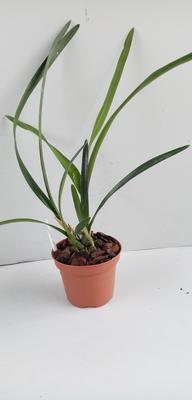 Encyclia patens x gallopavina - 2