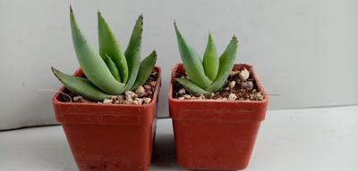 Aloe falcata (CH2274) - 2