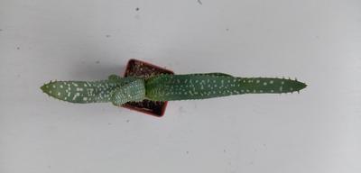 Aloe microstigma (CH1982) - 2
