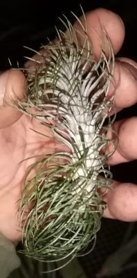 Tillandsia funckiana var. recurvifolia - 2