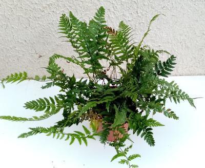 Polystichum tsus-simense (kapradina) - 2