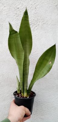 Sansevieria trifasciata 'Moonshine' - 2