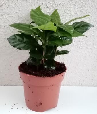Coffea arabica (kávovník) - 2