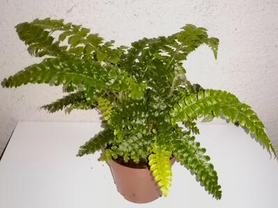 Polystichum polyblepharum (kapradina) - 2
