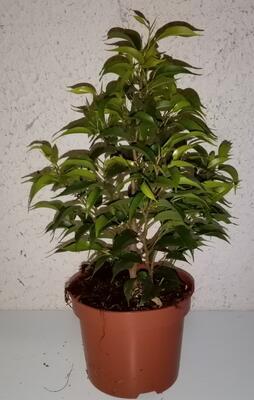 Ficus benjamina 'Nastasja' - 2