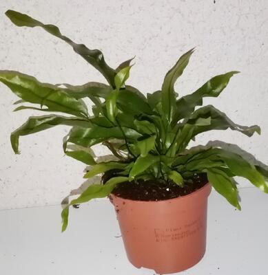 Microsorum diversifolium - 2