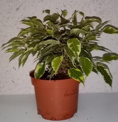 Ficus benjamina 'Kinky' - 2
