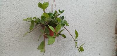 Peperomia pereskiifolia (velká rostlina) - 2