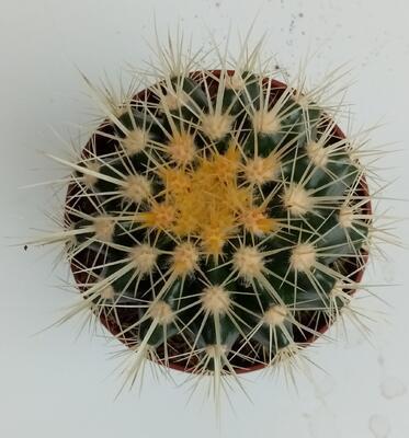 Echinocactus grusonii - 2
