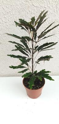 Schefflera elegantissima - 2
