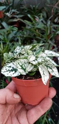 Hypoestes phyllostachya (zeleno bílá) - 2
