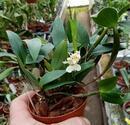 Dendrobium Niep Snowflake - 2/3